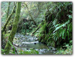 Click for more information on Fern Canyon in Van Damme.