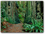 ANCIENTREDWOOD FORESTS